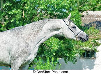 purebred gray Arabian stallion
