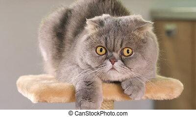 Purebred gray Scottish Fold cat - Thoroughbred gray Scottish...