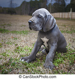 Purebred Great Dane puppy