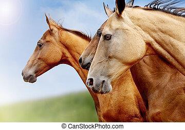 purebred, hästar, närbild
