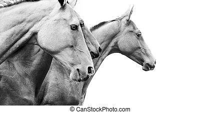 purebred, hästar