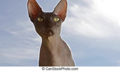 Canadian Sphinx cat against the blue sky - Purebred hairless...