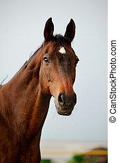 purebred, hest