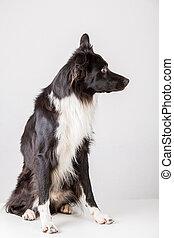 purebred, hintergrund, collie, ansicht, puppy., aus, voll, ...