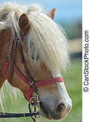 Purebred horse closeup in nature