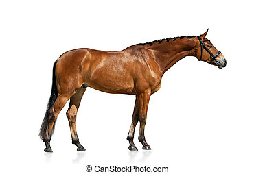 Purebred horse standing isolated over a white