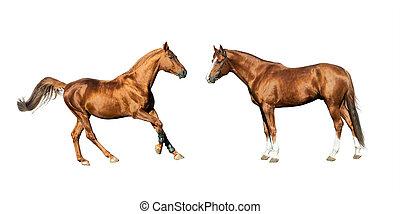 purebred horses isolated
