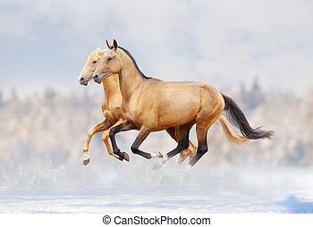 purebred horses - purebred stallions in snow