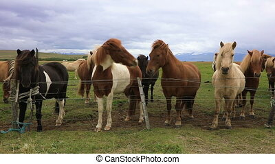 Purebred Icelandic horses in the paddock
