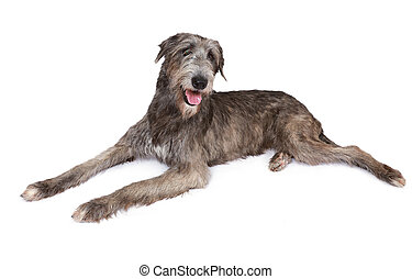 Purebred Irish wolfhound dog