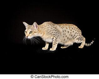 purebred kat