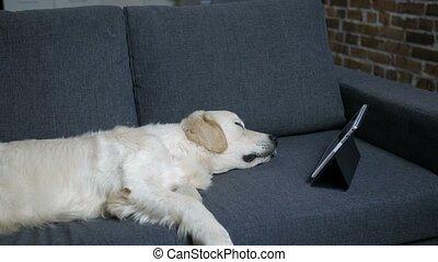 Purebred labrador retriever dog sleeping on sofa - Purebred...