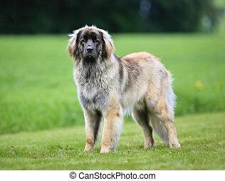 purebred, leonberger, 犬