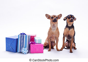Purebred little dogs with gift boxes.