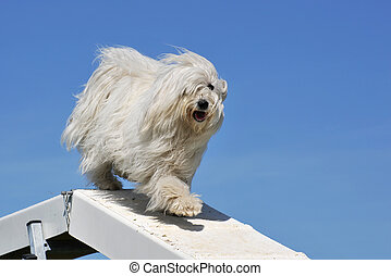 maltese dog - purebred maltese dog in a competition of...