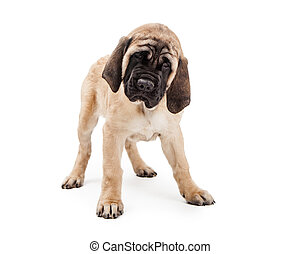 Purebred Mastiff Puppy Dog Standing Over White