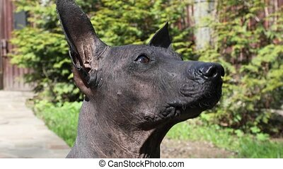 Purebred Mexican Hairless xoloitzcuintle dog sniffing air ...