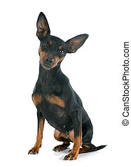 purebred miniature pinscher in front of white background