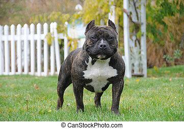 purebred, norteamericano, peleón, canino, perro