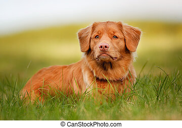 Nova Scotia Duck Tolling Retriever - Purebred Nova Scotia...