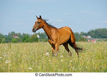 purebred, paarde, akker