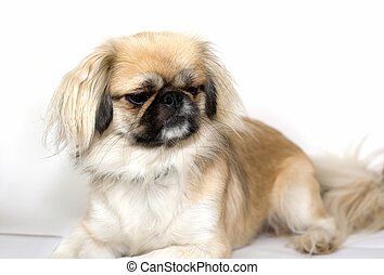 Purebred Pekingese Dog - a purebred Pekingese dog looking at...