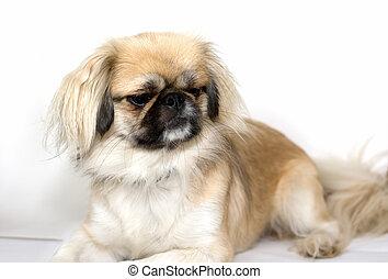 purebred, pekingese, perro