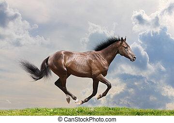 purebred, pferd