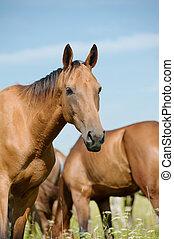 purebred, pferd, in, herde