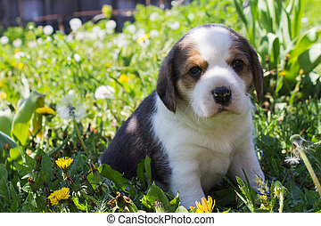 Portrait of a young Beagle breed