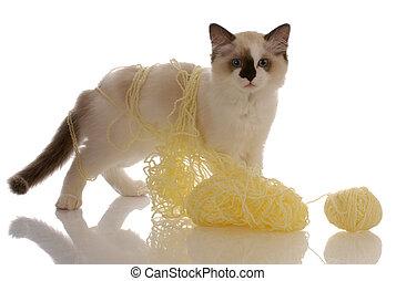 purebred ragdoll kitten playing with yellow yarn