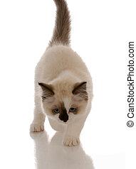 purebred ragdoll kitten stalking with reflection on white background