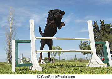 training of agility - purebred rottweiler in a training of...