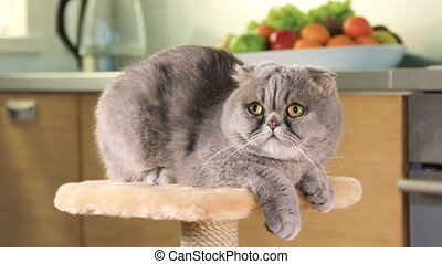 Purebred Scottish Fold cat - Scottish Fold cat resting on...