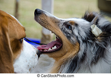 purebred, shetland sheepdog, draußen