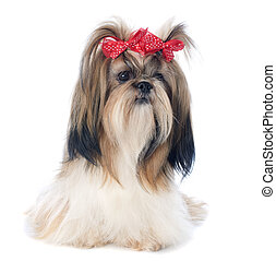 Shih Tzu - purebred Shih Tzu in front of white background