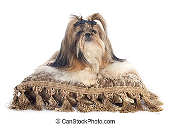 Shih Tzu - purebred Shih Tzu on cushion in front of white...
