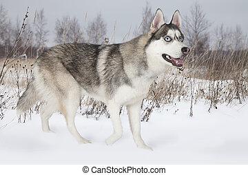 Purebred Siberian Husky dog outdoors