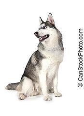 Purebred Siberian Husky dog