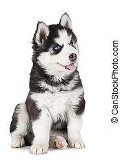 Purebred Siberian Husky puppy