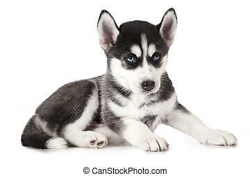 Purebred Siberian Husky puppy isolated on white - Two months...