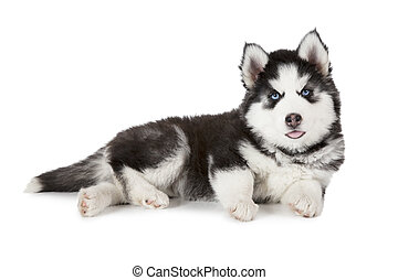 Purebred Siberian Husky puppy isolated on white