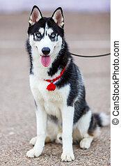 purebred Siberian Husky black and white color