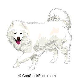 purebred, vektor, samoyed, hund, lächeln