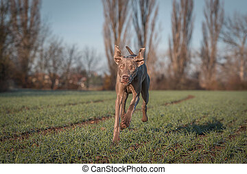 Purebred Weimaraner dog outdoors in the nature on grass meadow on a autumn day.