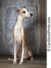 Purebred Whippet dog indoors - Eight months old purebred...