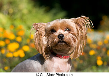 Purebred yorkshire terrier outdoor portrait near flowerbed...