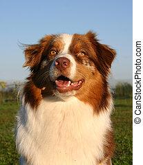 australian shepherd - purebreed australian shepherd