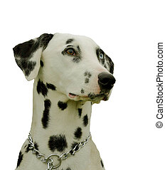 dalmatian detoured - purebreed dalmatian detoured