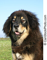 tibetan dog - purebreed mastiff tibetan dog
